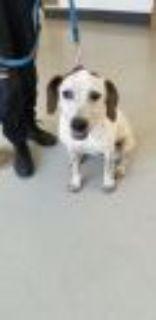 Speckles Pointer Dog