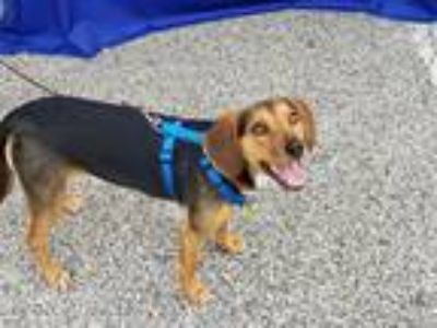 Adopt Frankie a Black - with Tan, Yellow or Fawn Beagle / Mixed dog in Bowie