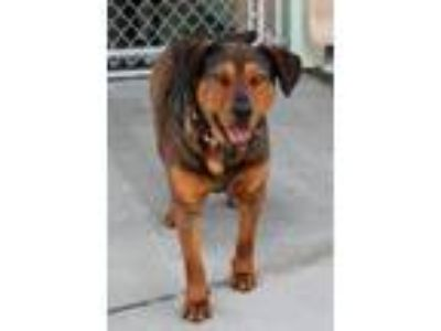 Adopt Jackie a Brown/Chocolate - with Black German Shepherd Dog / Mixed dog in