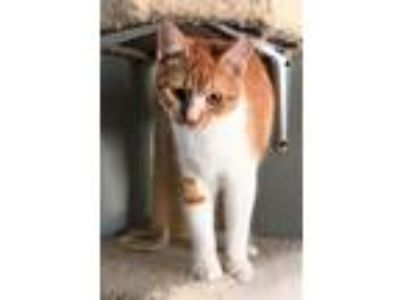 Adopt Will a Orange or Red (Mostly) Domestic Shorthair / Mixed (short coat) cat