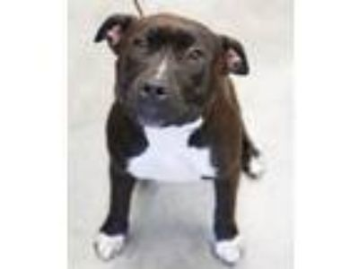 Adopt Pearl a Pit Bull Terrier, Mixed Breed