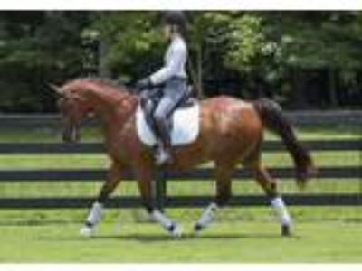 For Lease Sweet DressageHunter Mare