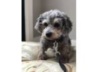 Adopt Miss Bliss a Miniature Poodle, Mixed Breed