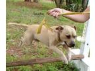 Adopt Touche a Tan/Yellow/Fawn Labrador Retriever / Pit Bull Terrier / Mixed dog