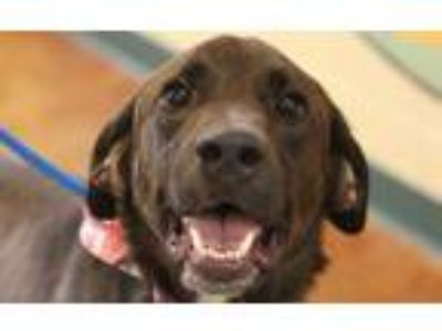 Adopt Bones a Brown/Chocolate Labrador Retriever / Mixed dog in Independence