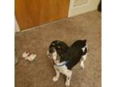 Adopt Louie a Tricolor (Tan/Brown & Black & White) Cocker Spaniel dog in Reno