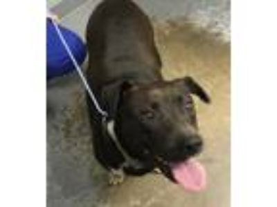 Adopt Brit a Black American Pit Bull Terrier / Mixed dog in Greenville