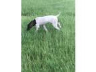 Adopt Bonnie a German Shorthaired Pointer