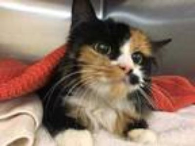 Adopt Baby LM a Orange or Red Domestic Longhair / Domestic Shorthair / Mixed cat