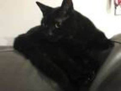 Adopt Midnight a Black (Mostly) Domestic Shorthair / Mixed cat in Homestead