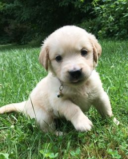 Golden Retriever PUPPY FOR SALE ADN-81301 - Golden Retriever AKC registered