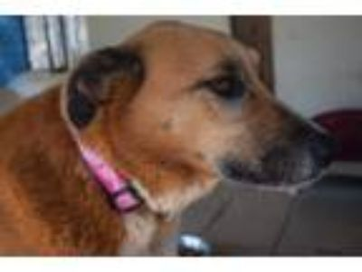 Adopt Miley a Cattle Dog, Belgian Shepherd / Malinois