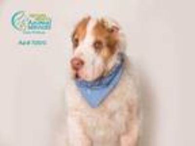 Adopt MOOSE a White - with Brown or Chocolate Shar Pei / English Springer