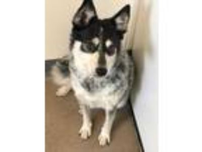 Adopt Hope a Black Australian Cattle Dog / Mixed dog in Fort Collins