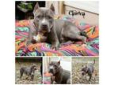 Adopt Cindra a Pit Bull Terrier