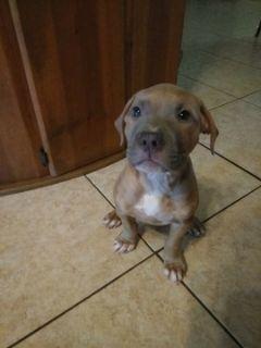 American Staffordshire Terrier PUPPY FOR SALE ADN-54642 - Amstaff