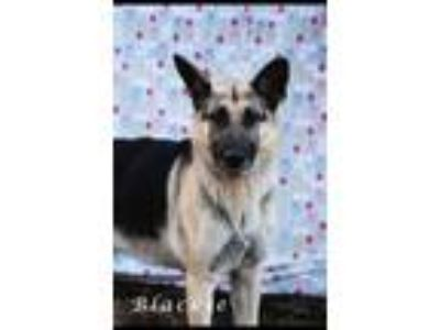 Adopt Mr. Blackie a Black - with Tan, Yellow or Fawn German Shepherd Dog / Mixed
