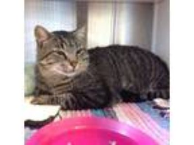 Adopt Stripes a Brown or Chocolate Domestic Shorthair cat in Oyster Bay
