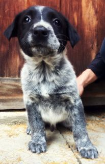 Adorable Nubby Tail Heeler Puppies