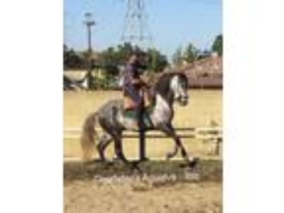 Dapple Grey Lusitano Stallion
