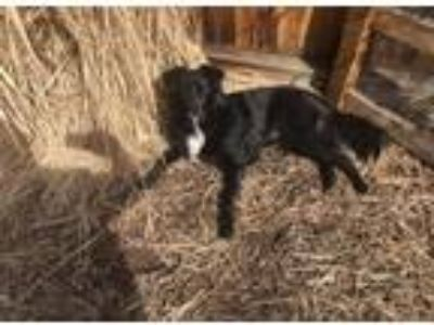 Adopt Nigel a Black - with White Border Collie / Labrador Retriever dog in