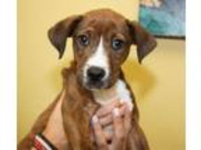 Adopt Kilo a Pit Bull Terrier, Mixed Breed