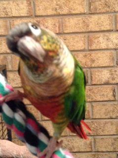 2 parrots for sale