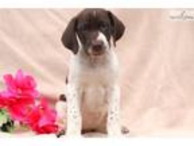 Tilly - German Shorthaired Pointer Female