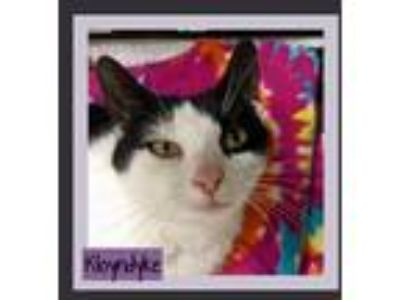 Adopt Klondyke a Domestic Short Hair