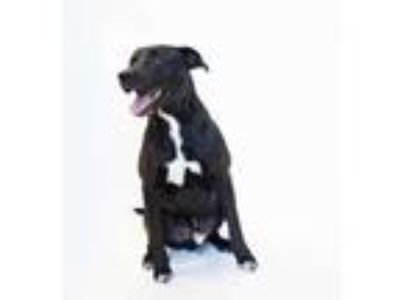 Adopt Argyle a Black Mixed Breed (Large) / Mixed dog in Chamblee, GA (25159689)