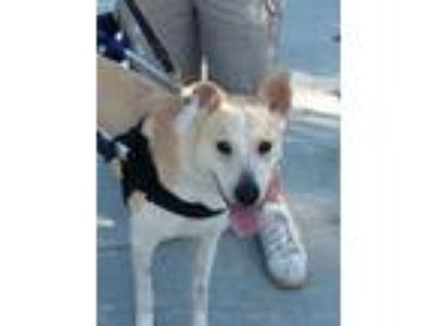 Adopt Turbo a Shepherd, Labrador Retriever