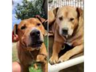 Adopt Hercules a Brown/Chocolate - with Black Bullmastiff / Mixed dog in