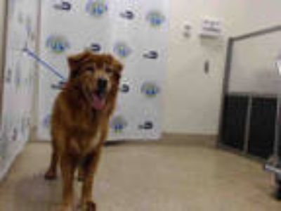 Adopt SONNY a Brown/Chocolate - with White Golden Retriever / Mixed dog in