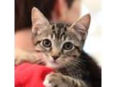 Adopt John a Gray or Blue Domestic Shorthair / Domestic Shorthair / Mixed cat in