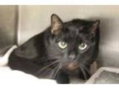 Adopt Docle a All Black Domestic Shorthair / Domestic Shorthair / Mixed cat in