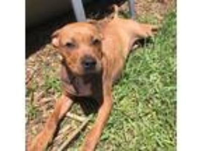 Adopt Byron a Red/Golden/Orange/Chestnut - with Black Mixed Breed (Large) /