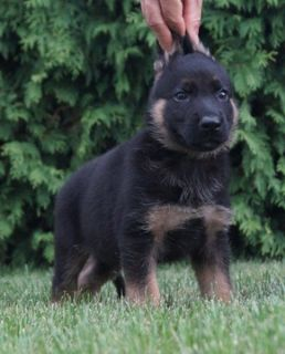 German Shepherd Dog PUPPY FOR SALE ADN-89369 - Amazing AKC German  Shepherd Puppies