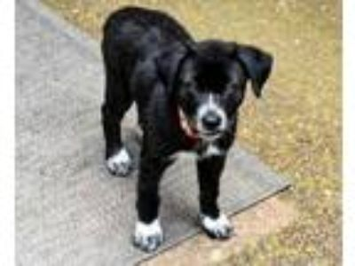 Adopt PUPPY SANSA STARK a Black - with White Husky / Mixed dog in Sussex