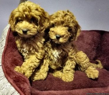 Red & Apricot Cockapoo Puppies