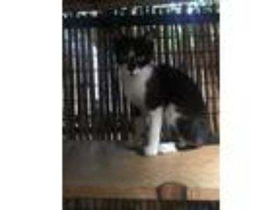 Adopt Yang a Black & White or Tuxedo Domestic Shorthair (short coat) cat in