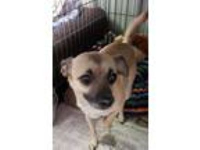 Adopt Snoopy a Tan/Yellow/Fawn - with Black Terrier (Unknown Type