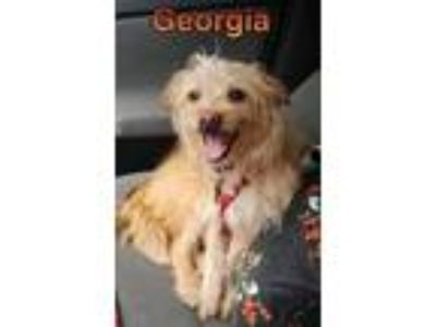Adopt Georgia a Tan/Yellow/Fawn Norwich Terrier / Mixed dog in Hesperia