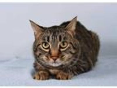 Adopt CLEO a Brown Tabby Domestic Shorthair / Mixed (short coat) cat in
