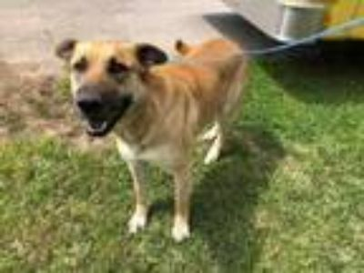 Adopt HERMIONE a German Shepherd Dog, Mixed Breed
