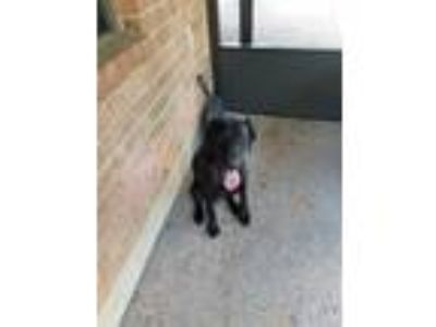 Adopt Kobe a Black Labradoodle / Pointer / Mixed dog in Memphis, TN (22394380)