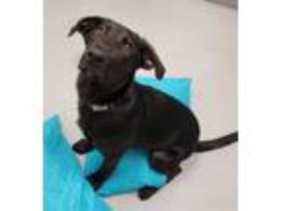 Adopt Brown Bear a German Shepherd Dog / Labrador Retriever / Mixed dog in