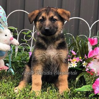 Best Champion German Shepherd Puppies for Sale in USA