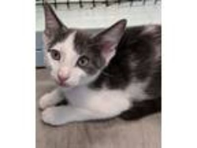 Adopt Biff a Gray or Blue (Mostly) Domestic Shorthair / Mixed (short coat) cat