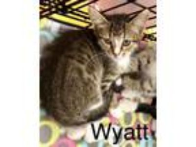 Adopt Wyatt a Domestic Shorthair / Mixed (short coat) cat in Cumming