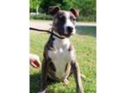 Adopt Bettina JuM a Brindle - with White Pit Bull Terrier / Mixed dog in